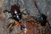 A fully-grown male dynastid beetle among two other insects on some bark.