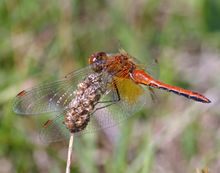 Male specimen of the dragonfly Sympetrum flaveolum, perched. Red-bodied with red tips on its wings, with an indigo underbelly and saffron yellow in the basal areas of its wings.